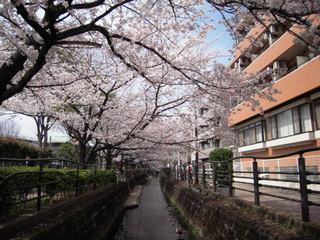 2011sakura_008