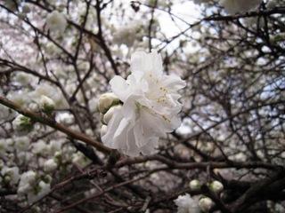 2011sakura_010