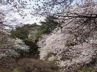 2011sakura_012