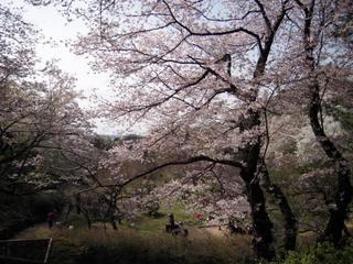 2011sakura_013