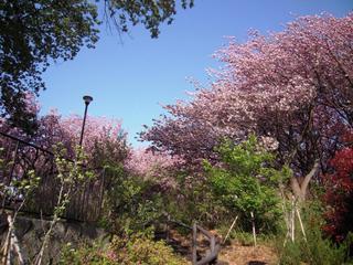 Sakura2011_002_2