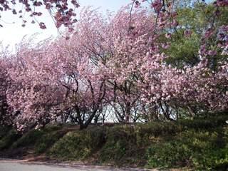 Sakura2011_005