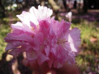 Sakura2011_007