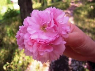 Sakura2011_010